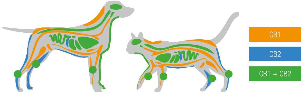 Receptoren Anibidiol Hond en kat